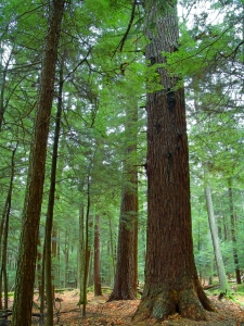 Old growth primary forest